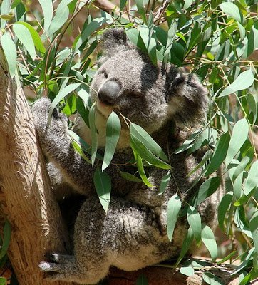 The Magic of Eucalyptus